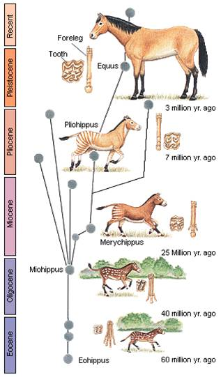 Source: Professor Donald Levin's course in BioEvolution at the University of Texas in Austin, copied from http://darwiniana.org/horses.htm.