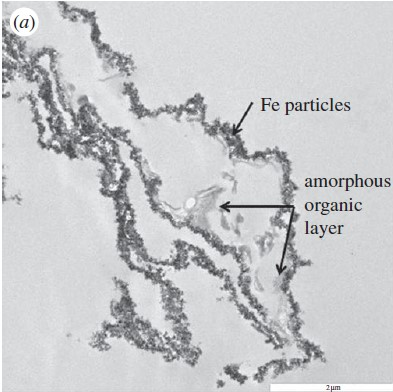 Transmission Electron Microscope (TEM) image of vessel from T. rex bone, showing iron-rich nanoparticles associated with organic layer. Source: Schweitzer, et al., Proc. R. Soc. B 281: 20132741 [21].