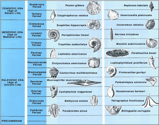 Examples of index fossils.    http://pubs.usgs.gov/gip/geotime/fossils.html