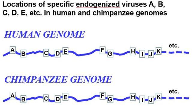 ERVs Fig Human Chimp
