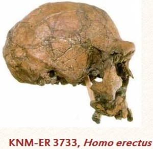 KNM-ER 3733, Homo erectus (or Homo ergaster). Discovered at Koobi Fora in Kenya and thought to be female. The whole skull is similar to some of the Peking Man fossils.  Source: TalkOrigins      http://www.talkorigins.org/faqs/homs/3733.html