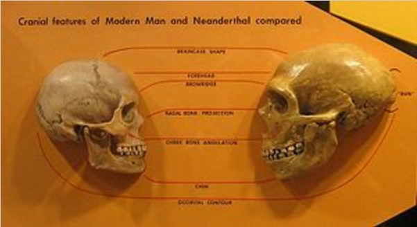"Anatomical comparison of skulls of Homo sapiens (left) and Homo neanderthalensis (right)   , in Cleveland Museum of Natural History.   Features compared are the braincase shape, forehead, browridge, nasal bone, projection, cheek bone angulation, chin, and occipital contour.   Source: Wikipedia article ""Anatomically modern human"". https://en.wikipedia.org/wiki/Anatomically_modern_human"